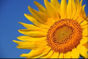 Creative Commons Sunflower